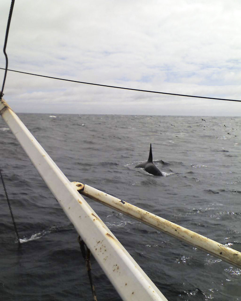 Trawler captain Billy Train of Falmouth photographed this killer whale while fishing off the coast of Massachusetts. Although such sightings are rare, it was the second time for Train, who said he saw two orcas while fishing in 2005.
