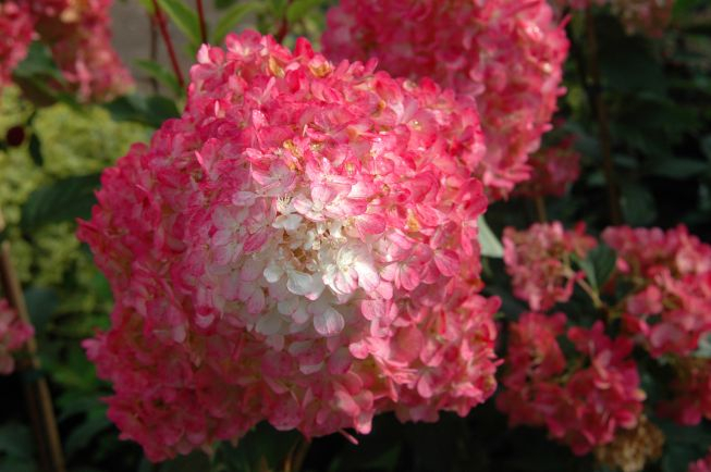 The Vanilla Strawberry, a pink and white variegated hydrangea, is a new plant expected to be popular this year.