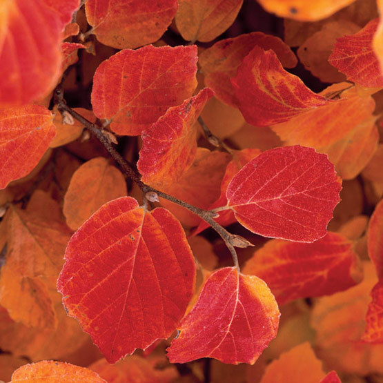 'Red Licorice' fothergilla, left, produces white flowers and grows 6 to 8 feet tall.