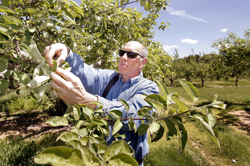 Greg Sweetser examines damaged blossoms in his family's orchard, Sweetser's Apple Barrel and Orchards in Cumberland. Three straight nights of frost in May ruined apple blossoms in some orchards, and probably will cause a smaller harvest this fall.