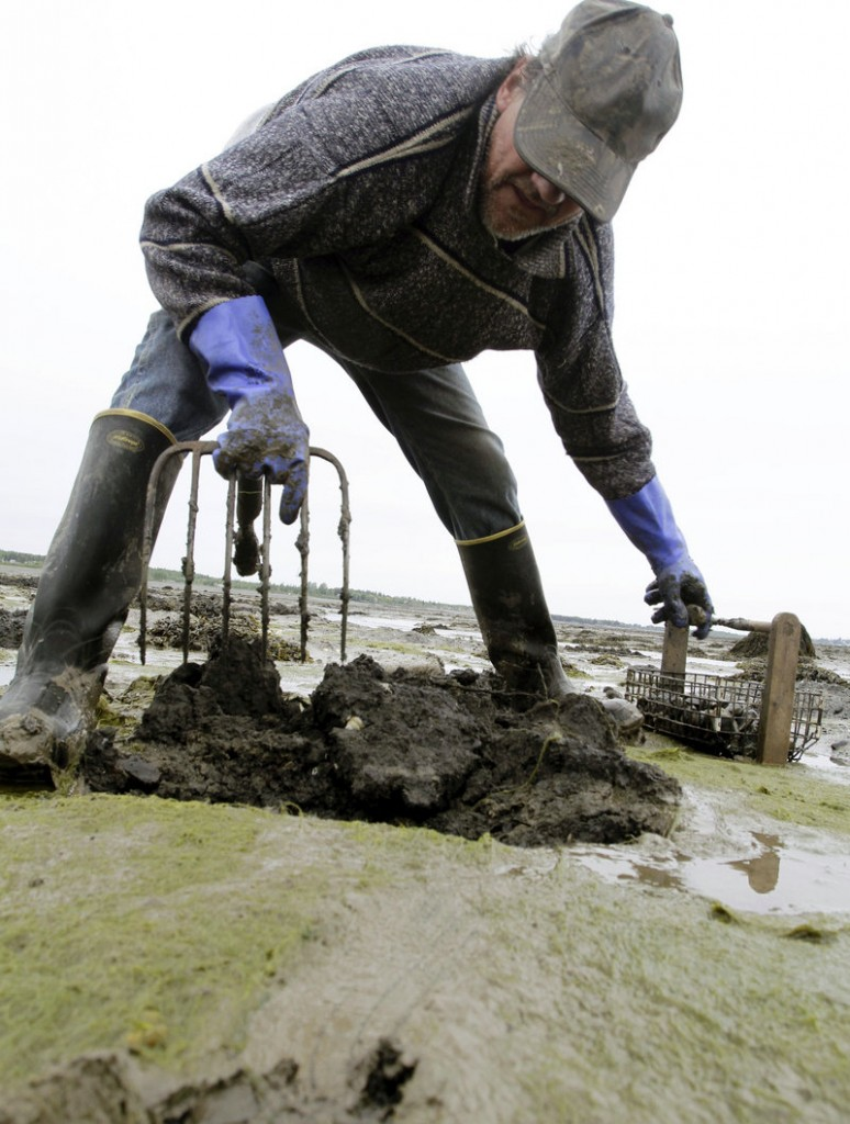 Bob Varney digs into the vast mudflats in Lubec last month as he gathers tasty soft-shell clams. Varney, 55, has earned his living on Lubec's clam flats for 30 years, but the harvest has plunged because of an onslaught of moon snails.