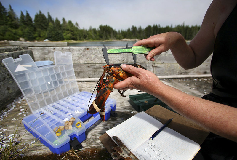 Diane Cowan measures a lobster on a float in the middle of the conservancy's pound on Friendship Long Island.