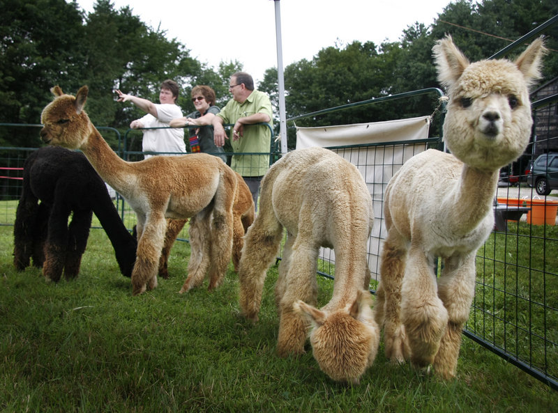 Karen Carter-Vachon, back left, of Topsham shares tips about alpacas with Janet and Pete Dardano of Saco at Upper Farm Alpacas in Pownal during Open Farm Day on Sunday, The farm's owners, Greg and Nicole Carter, breed, buy and sell alpacas and sell their fur as fiber at farmers markets.