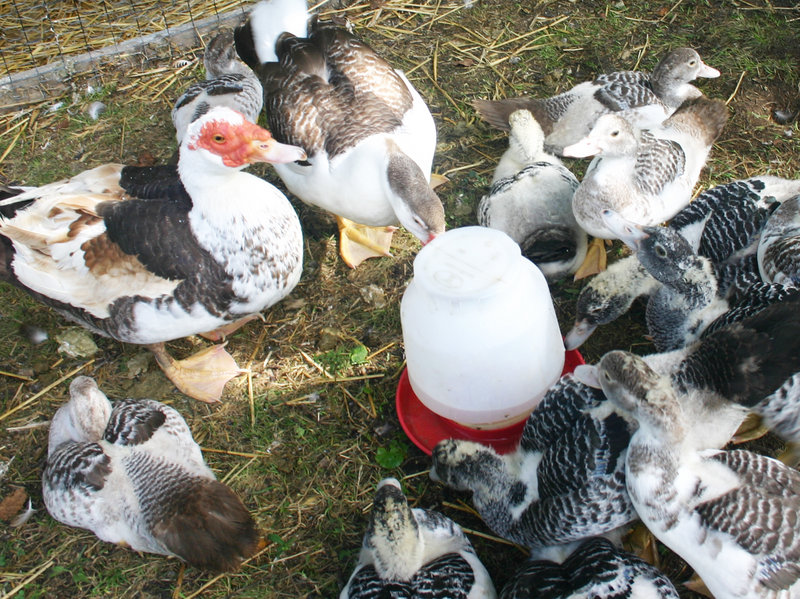 Muscovy ducks of various ages cluster around the watering canister at the Fernandes-Whitten home in Cape Elizabeth.