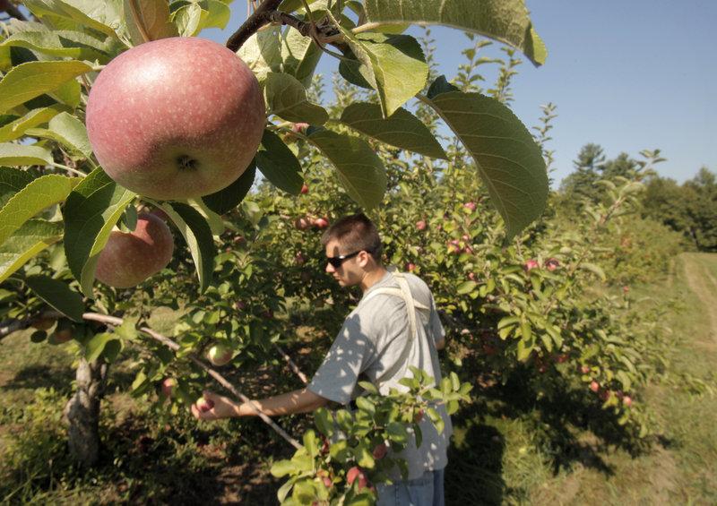 Blair Edwards makes a pick at McDougal Orchards.