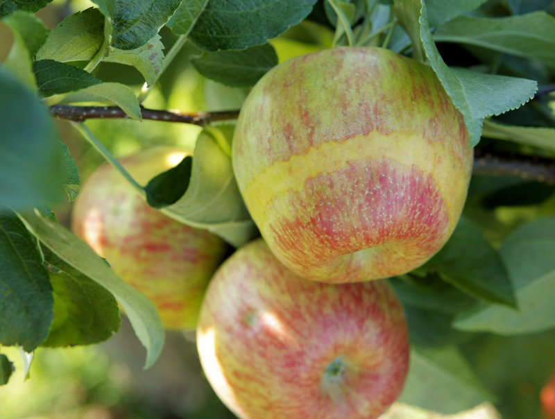 Some apple varieties, such as this Gala, have visible frost damage.