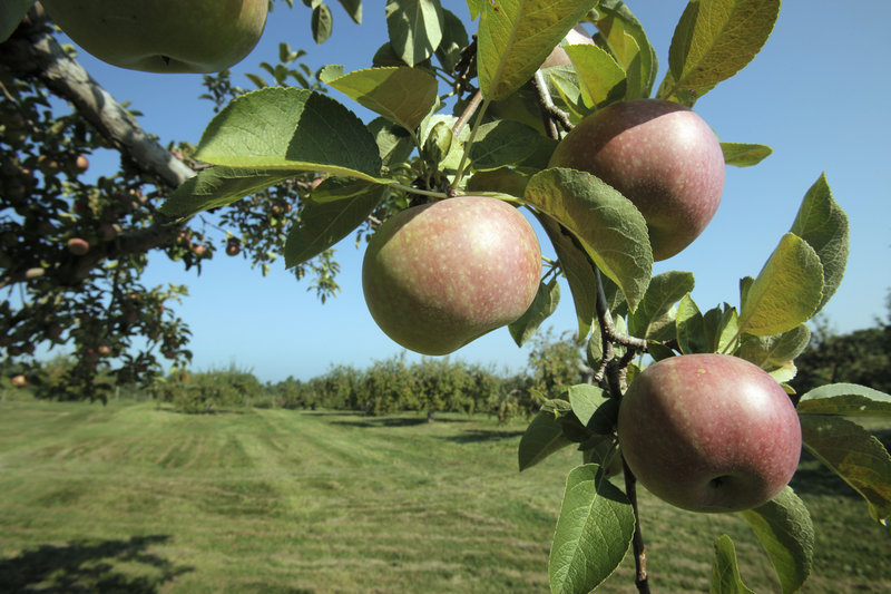 McIntosh apples hang from a tree at McDougal Orchards in Springvale.