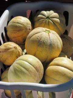 More produce from Yarmouth Community Garden, pictured Sept. 11.