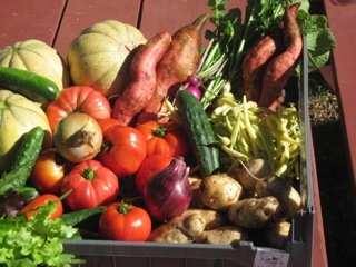 Some of the bounty from the Yarmouth Community Garden, pictured Sept. 11, the day the garden hit the season's 3,000-pound harvest mark.