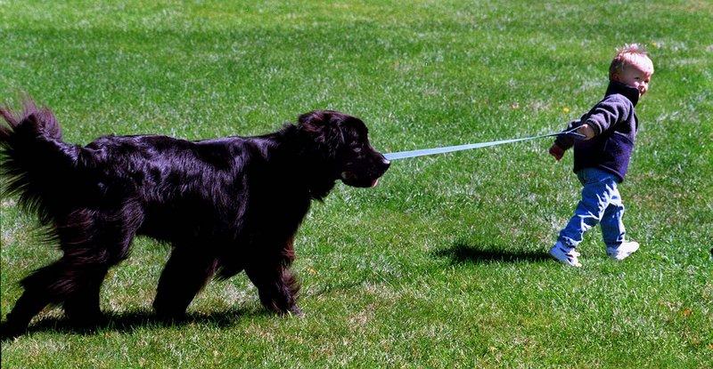 Newfie Fun Days in Eliot celebrates the big black dog Saturday and Sunday.