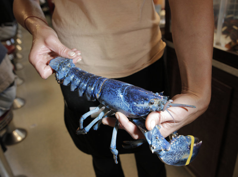 """""""Little Boy Blue,"""" a rare blue lobster, is held by waitress Melissa Hamilton at Becky's Diner on Saturday. It's estimated that the chance of catching a blue lobster is about one in a million."""