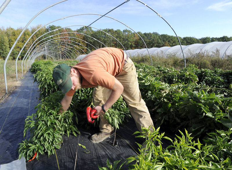 At Fishbowl Farm in Bowdoinham, Chris Cavendish gathers Jimmy Nardello sweet peppers. The rare heirloom pepper originated in Italy, and its seeds were brought to America by Nardello in 1887. It is among the vegetables that will be featured at Sunday s American Harvest Picnic in Wiscasset.