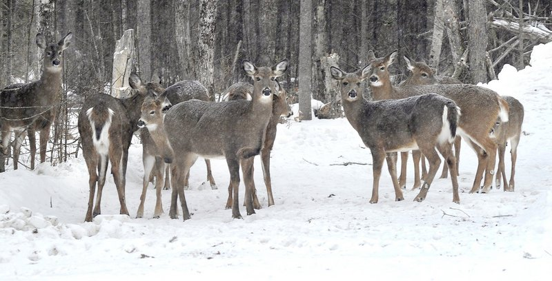 Deer in Maine, such as these in a yard north of Greenville, face dwindling habitat and predation by bears and coyotes. A recent workshop in Augusta sought to create a comprehensive initiative to reverse the decline in the deer herd.