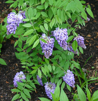 """Wisteria """"Amethyst Falls"""" is a suitable replacement for the invasive Oriental bittersweet."""