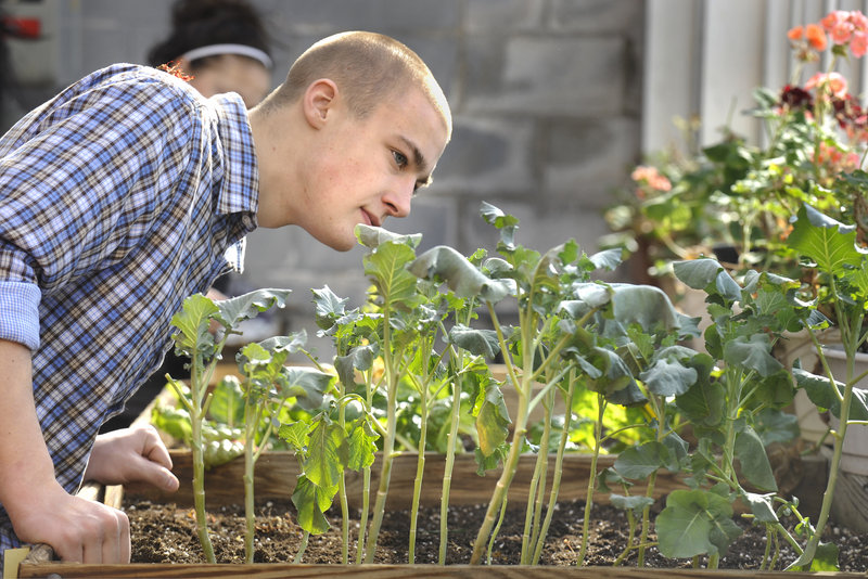 South Portland High School senior Nate Trask inspects broccoli plants Friday in the greenhouse, which has played a big role in the ecology and applied math classes in Learning Alternatives.
