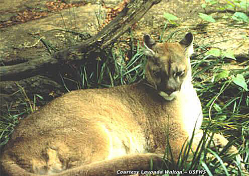 An undated photo of an eastern cougar from the U.S. Fish & Wildlife Service.
