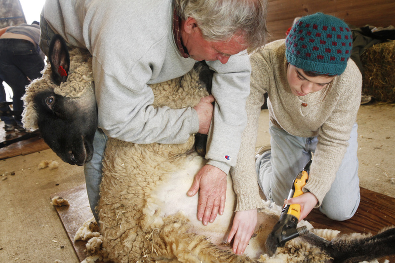 """Maya Critchfield of Casco gets shearing help from instructor Brandon Woolley of Baldwin at North Star Sheep Farm in Windham. """"It's a good time to be a sheep farmer,"""" said Lisa Webster of North Star."""