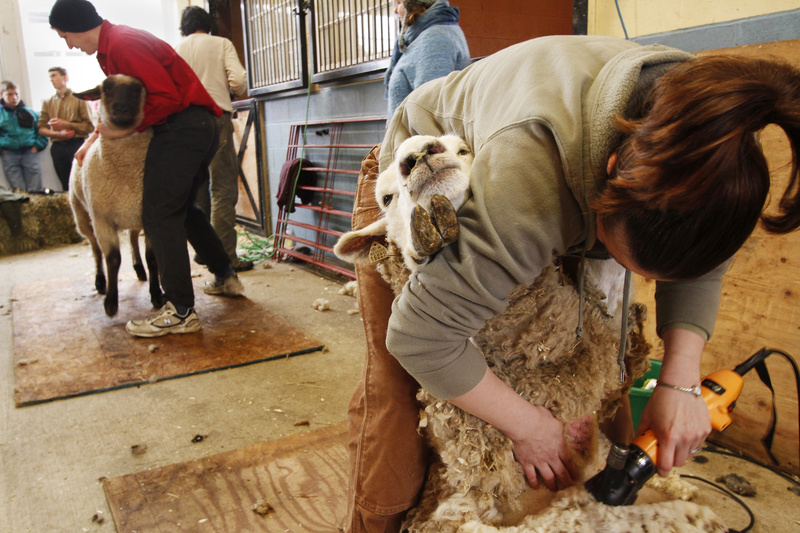 """Amanda St. Peter of Gray tries her hand at shearing a sheep at a University of Maine Cooperative Extension course at North Star Sheep Farm in Windham last weekend. """"Everyone wants to get involved in sheep and fleece. It's great,"""" said Lisa Webster, who hosted the class."""