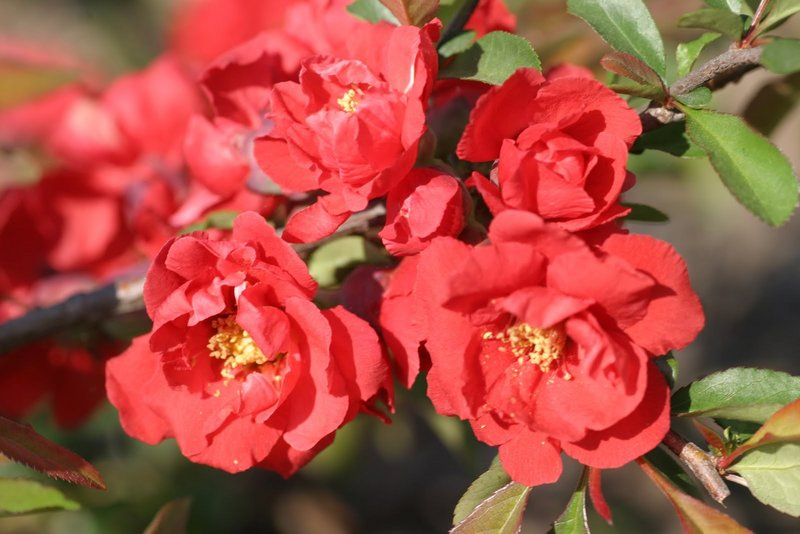 """Flowering quince """"Iwai Nishiki,"""" which attracts hummingbirds and has deep-red double blooms"""