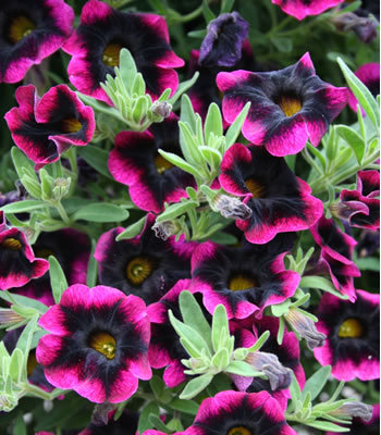 """The stunning """"Blackberry Punch,"""" which is a new Calibrachoa"""