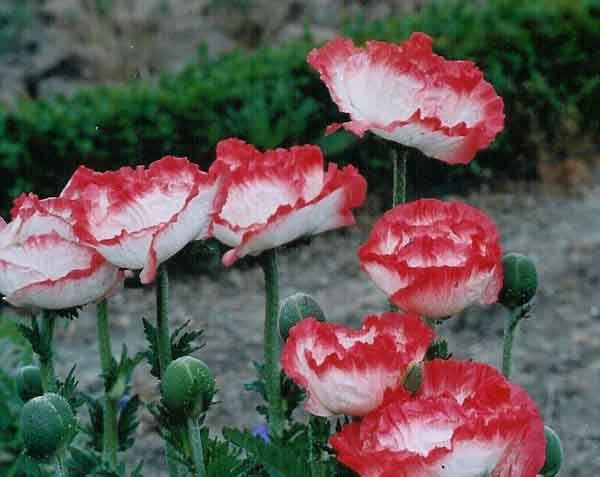 """Papaver """"Place Pigalle,"""" a member of the Oriental poppy family"""