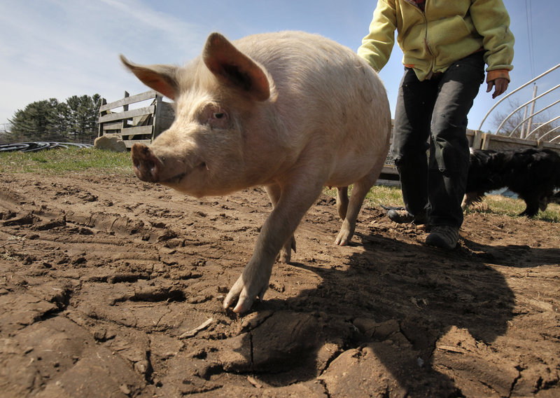 Beth Schiller coerces a sow back to her pen Friday at Dandelion Spring Farm in Newcastle. Schiller said she has to make an appointment more than a year ahead to get a slaughter date, one of the hurdles she faces as a small-scale farmer in Maine.
