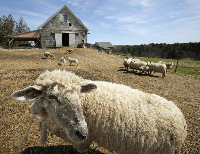 Sheep are raised on Dandelion Spring Farm in Newcastle. Deregulation advocates say laws are holding farmers back from meeting the rising demand for locally grown and produced food. The challenge will be to ensure food safety while allowing innovation.