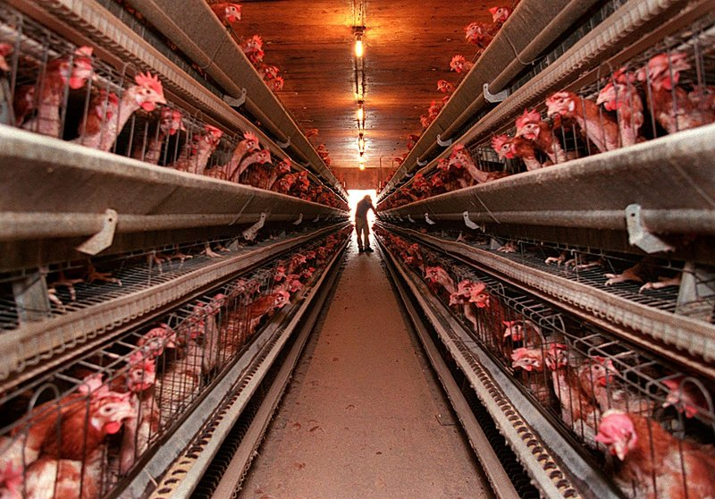 Laying hens live in tight quarters in this photo taken in 1996 at the former DeCoster egg farms in Turner, still doing business under new names. The company has a long history of violations of workplace, environmental and other rules.