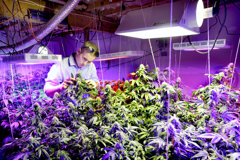 Robert Rosso, a state-licensed medical marijuana grower, inspects plants, above, and buds, below.