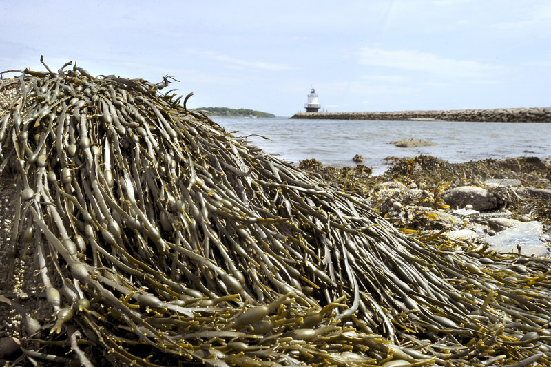 Rockweed, shown in South Portland, is used as a fertilizer, food additive, in packaging for bait and lobster, in cosmetics and as a nutritional supplement.