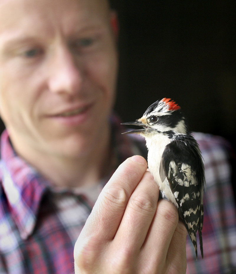 Patrick Keenan, BioDiversity Research Institute's outreach director, inspects a male downy woodpecker in Falmouth.