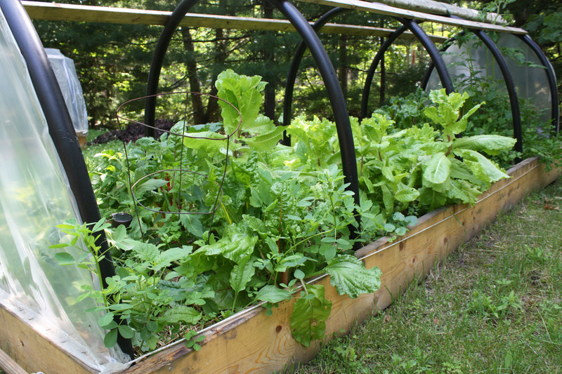 One of the hoop houses at Island Micro Farm overflows with greens, many of which are destined for the Cockeyed Gull.