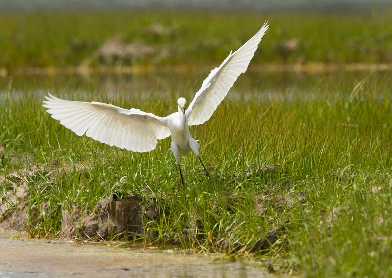 A snowy white egret lands in the estuary at the Rachel Carson National Wildlife Refuge on Granite Point in Biddeford. The refuge hopes to add a large tract of property from Biddeford's Timber Point.