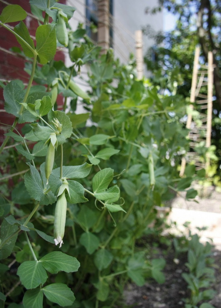 Sugar snap peas grow among other vegetables in the raised beds beside the center.
