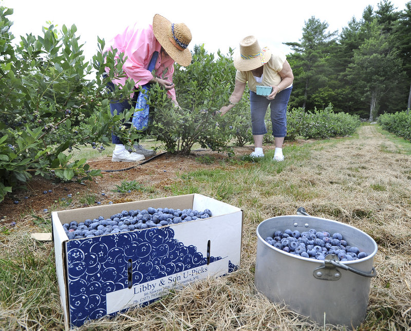 Pat Leslie and Jeri Stuart from Gorham gather highbush blueberries at Libby & Son U-Picks in Limerick.