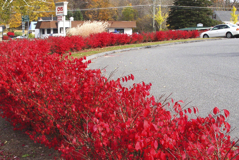 Burning bush produces thousands of seeds and makes such dense thickets that other plants have trouble competing.