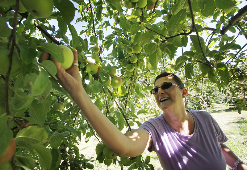 Angela Delorme of Auburn picks a winner at Terison Apple Orchard in Cumberland.