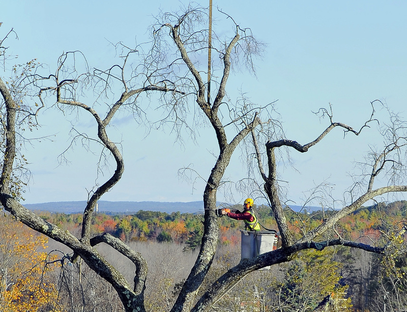 High above the surrounding fall foliage, Allen Gaddy, arborist for Bartlett Tree Experts, cuts limbs off the elm tree at Oak Hill in Scarborough. The town decided in August that the old tree, dubbed Elsa, posed too great a risk to pedestrians and traffic.