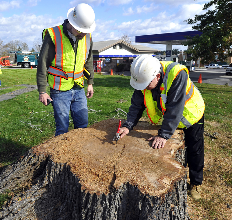Scarborough's director of public works, Mike Shaw, left, and Tim Lindsay of Bartlett Tree Experts count the rings in Elsa's stump.