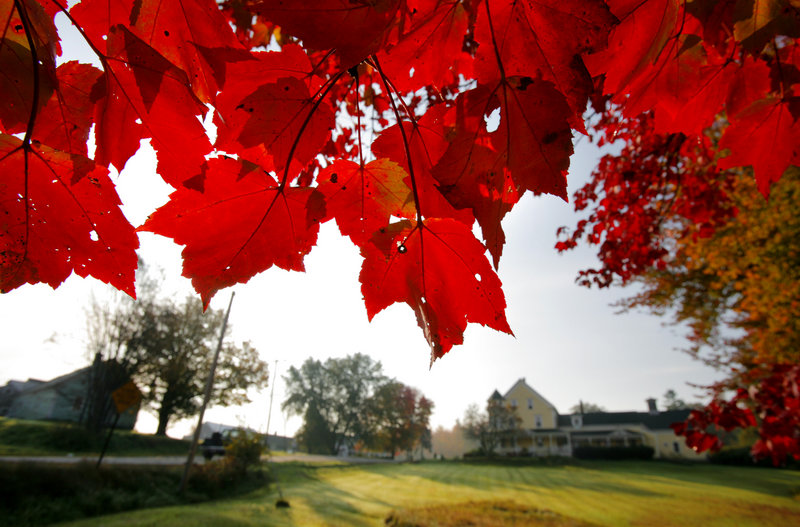 The leaves of a maple on Route 35 in Dayton reach their deep red stage.