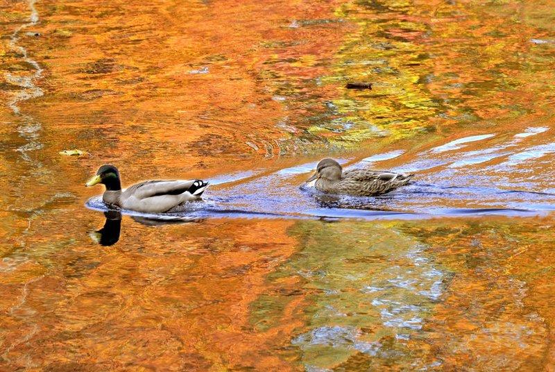 Mallard ducks swim up the Presumpscot River in Westbrook against a striking reflection of fall foliage.