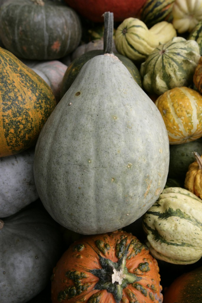 Squash overruns the produce bins at this time of year.