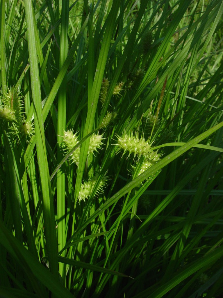 Carex lurida, a type of sedge. Glen Mittelhauser is working on a field guide to the sedges of Maine, among other projects.