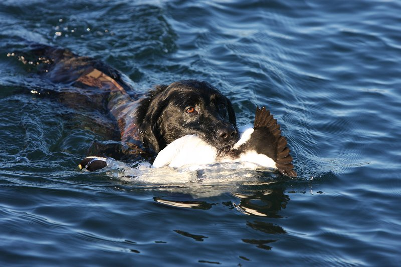 Scoter, a black lab who is equipped with a neoprene vest, retrieves an eider drake during a recent hunt off the coast of Maine