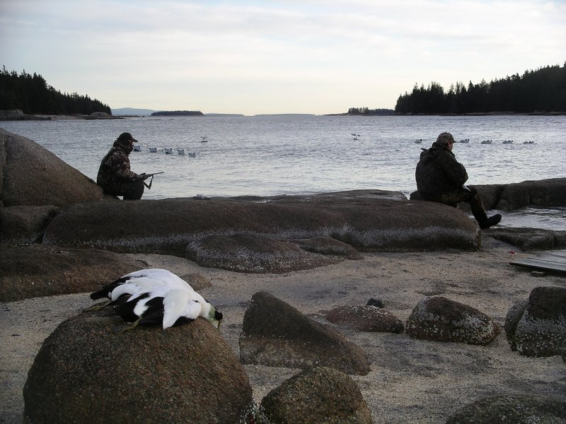 Hunters will set up on ledges with large decoy spreads in order to attract sea ducks. The hunt can be grueling in the winter but also extremely rewarding.