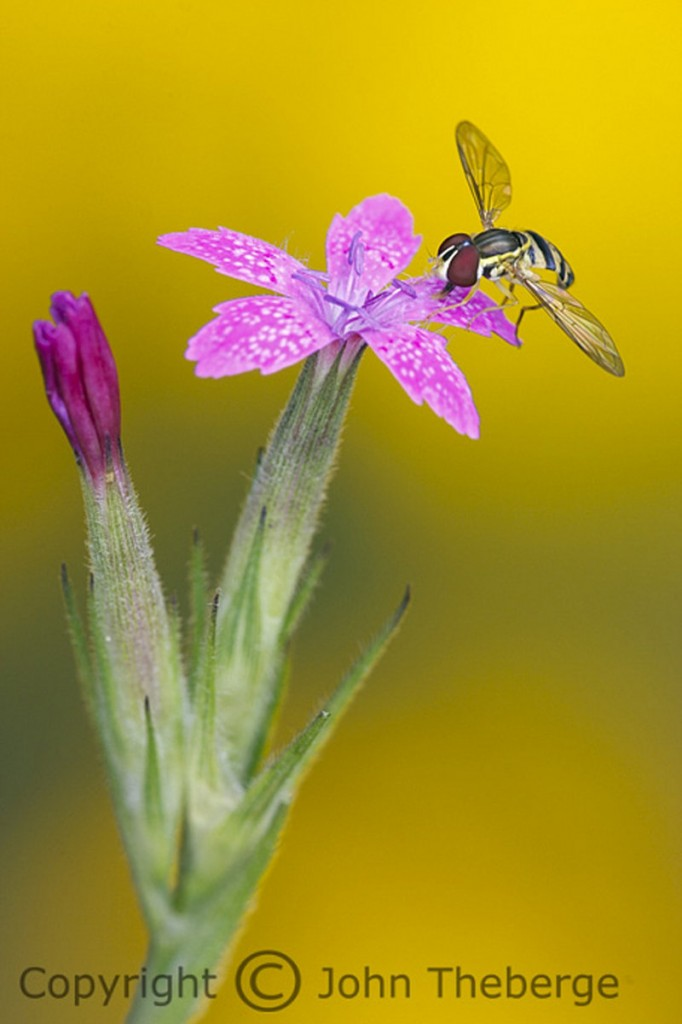 """John Theberge won first place in the """"other wildlife"""" amateur category for his macro photo of this Deptford Pink with a hoverfly on it."""