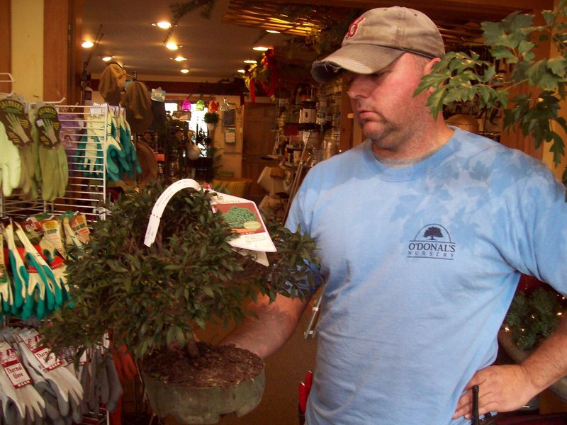 At O'Donal's, Dave Remington examines a tropical bonsai. The tropical type is meant for indoor use.