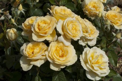 A yellow Grandiflora rose