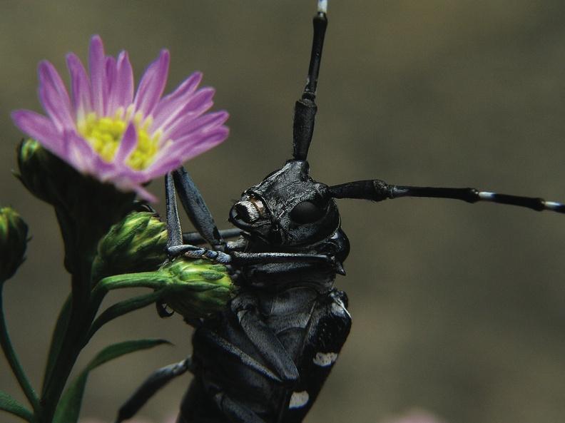The Asian longhorn beetle