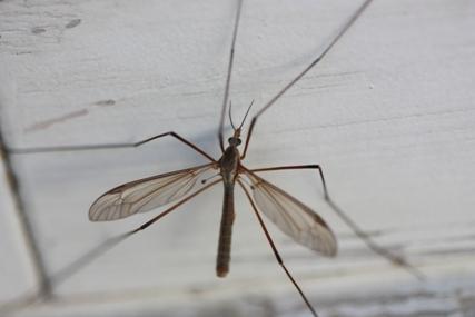 The European crane fly